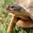 tortoise at Harold Porter Gardens