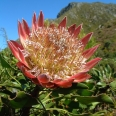 King Protea, Pringle Bay