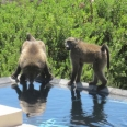 Chacmas drinking from my neighbours swimming pool