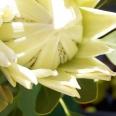 protea splendour