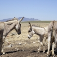 Donkeys at Dassiesfontein; Overberg