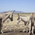 Donkeys at Dassiesfontein; Overberg