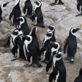 Jackass penguin colony