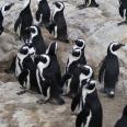 Jackass penguin colony