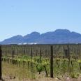 vineyards Stellies