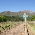 Delheim vineyards