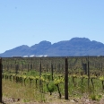 vineyards Stellies
