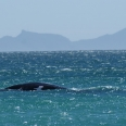 southern right whale in pringle bay