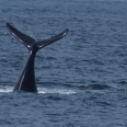 southern right whale display