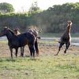 Stallion; Kleinmond wild horses